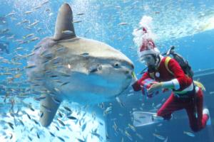 「シーパラダイスクリスマス」イワシイリュージョンやペンギンパレードがクリスマス仕様に