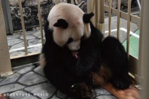 アドベンチャーワールドに17頭目のパンダの赤ちゃん誕生