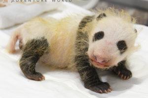 パンダの赤ちゃん、生後1ヶ月で性別が「メス」だったと判明 アドベンチャーワールド