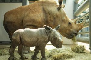 ディズニー・アニマルキングダムのシロサイの赤ちゃん、名前が「Ranger」に決定