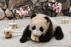 パンダの赤ちゃんに初めての遊具をプレゼント アドベンチャーワールドのひなまつり