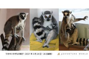 ワオキツネザルの赤ちゃん4頭、アドベンチャーワールドに誕生