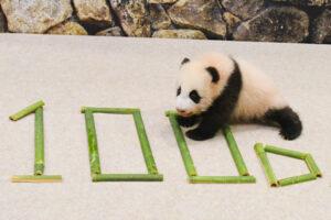 パンダの赤ちゃん名前投票スタート 候補は光浜・咲浜・楓浜