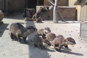 シーパラにコツメカワウソとハイイロアザラシの赤ちゃん誕生、一般公開